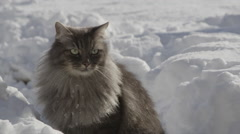 CLOSE UP: Beautiful grey cat in winter Stock Footage