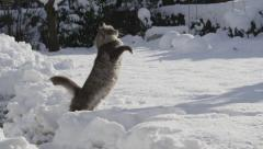 SLOW MOTION: Cat catching snowballs in snowy garden - stock footage
