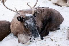 tied reindeer on the snow - stock photo