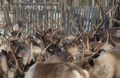 Herd of reindeer in the corral Kuvituskuvat