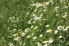 chamomile wild flowers spring season - stock photo