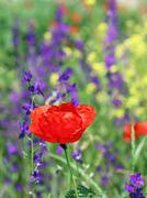 Red poppy wild flower spring season Stock Photos