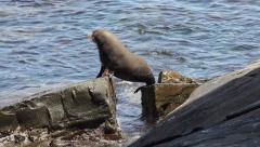 Close-up view of a seal moving across rocks at the coast Stock Footage