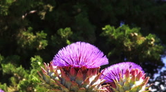 Artichoke flower (Cynara) with bees. Stock Footage