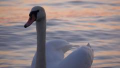 Close-up of a white swan is floating on the water of  balaton lake - stock footage