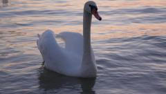 White swan is floating on the water of  balaton after sunset - stock footage