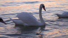 Some white swans are floating on the water of  balaton lake - stock footage
