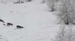 Young stags eating during the winter Stock Footage