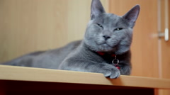 Curious gray cat gazing, pet watching, green eyes, portrait, indoors Stock Footage