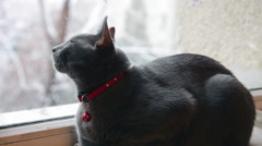 Beautiful pet, cute Russian Blue cat looking through the window, winter, snowing Stock Footage