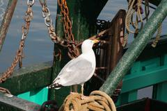 European herring gull on the fisher man boat Stock Photos