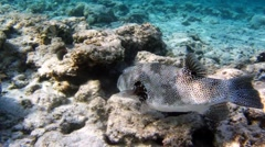 Porcupinefish or pufferfish eats Fire urchin Stock Footage