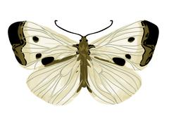 Cabbage white butterfly Stock Illustration