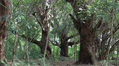 Ancient Forest on Micronesian Island of Yap - stock footage