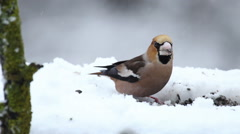 Bird Hawfinch eating seeds during snow storm in the winter Stock Footage