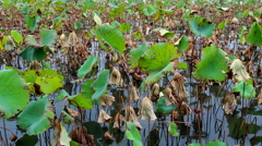 Green and wilted lotus leaves in pond Stock Footage
