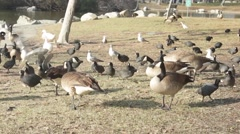 Wide Shot of Ducks in a Park 1 Stock Footage
