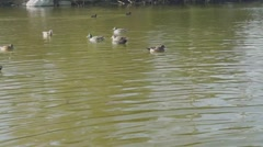 Lake with Ducks Swimming Stock Footage