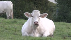 Stock Video Footage of Large cow (Charolais) sitting down and chewing, France.