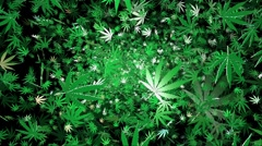Flying cannabis leaves on a black background Stock Footage