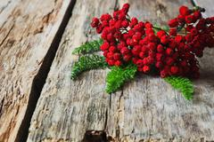 dried red rowan branch - stock photo
