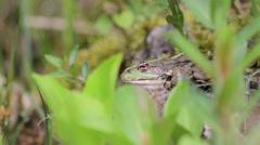 Static Marsh frog Stock Footage
