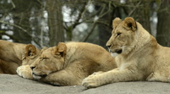 3 lions sitting on a rock, close up of sleeping lion Stock Footage