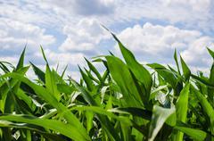 Corn and sky Stock Photos