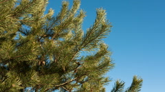 Pine branch with cones against blue sky in Autumn Stock Footage