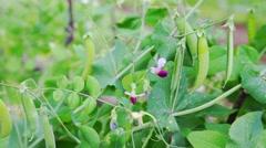 Seed-pods of pea fruits (Pisum sativum) closeup view Stock Footage