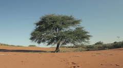 Lonely tree in desert of Kalahari red sand dunes landscape, Namibia, Dolly Shot Stock Footage