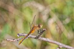 Dragon Fly Resting on a Twig Stock Photos