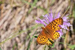 Arctic Fritillary Butterfly - stock photo
