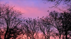 Crows on tree flying away, raven, black birds, sunset, background red clouds Stock Footage