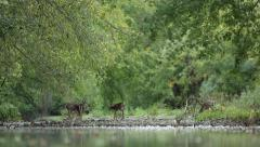 Four Deer Meander Along Stream Stock Footage