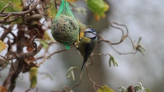 Blue tit on bird fat ball, winter Stock Footage