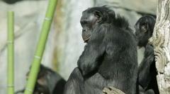 Bonobo chimpanzee apes Stock Footage