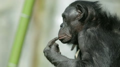 Bonobo chimpanzee ape sitting by waterfall Stock Footage