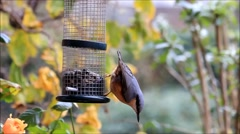 Bird nuthatch, winter, eating sunflower seeds Stock Footage