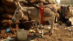 Donkey drinking water Stock Footage