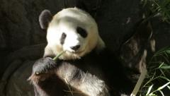 Panda bear eating bamboo tree Stock Footage