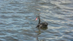 Female Black swan on Lake Rotorua New Zealand Stock Footage