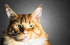 big maine coon red orange cat portrait - stock photo