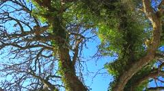 Old tree with Viscum Album - stock footage