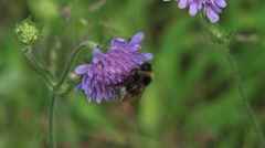 Wild bee feeding on Scabiosa columbaria, Pincushion Flower Stock Footage