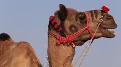Video 1920x1080 -  Camel at the Pushkar Fair,  Camel Mela. Rajasthan, India Stock Footage