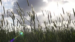 playing with lensflare in fields of grain - stock footage