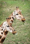 rothschild's giraffes eating green leaves - stock photo