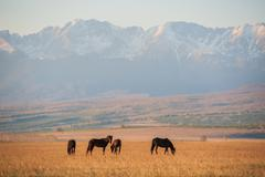 Beautiful bay horse herd grazes in the mountains at sunset, amazing hipster - stock photo