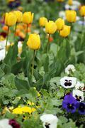 tulip and pansy flower garden spring season - stock photo